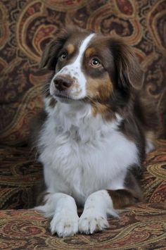 Red Australian Shepherd. You sit neatly with your paws infront of you, attentively listening <3
