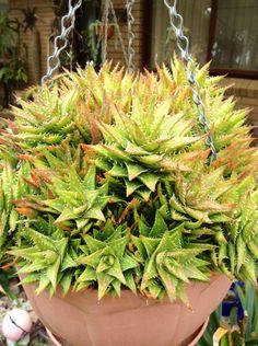 Aloe 'Faine'