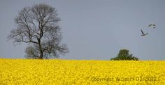 Another from my album 'Fields of Yellow'