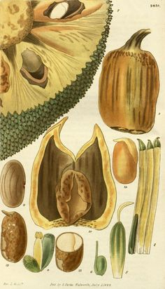 Jackfruit Tree Botanical Illustration circa 1828