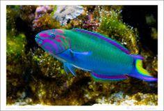 Marine Lunare Moon Wrasse Fish