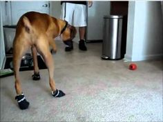 Funny Boxer Dog Doesn't Like His New Shoes