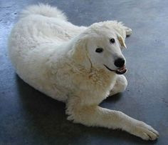 Kuvasz - The Kuvasz is loyal, obedient, and easily trained. He generally becomes a devoted one-family dog. Large, strong and protective both of his family and other household pets, the Kuvasz is a natural guard dog. Suspicious of strangers, he will quickly sound the alert. He is a dog of great stamina, and is courageous and intelligent