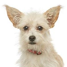 Los Angeles, CA - Terrier (Unknown Type, Small) Mix. Meet Gloria, a dog for adoption. http://www.adoptapet.com/pet/11850916-los-angeles-california-terrier-unknown-type-small-mix