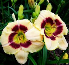Amazon.com : 10 Bareroot Hemerocallis Custard Candy Daylily 1-2 Fans : Patio, Lawn & Garden