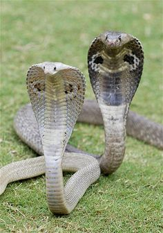 Cobras are some of the most dangerous and venomous snakes found mostly in Africa and Asia. They can range in length from 8 feet to just over 18 feet. According to National Geographic, one bite from a king cobra has enough toxin to kill 20 people or even an elephant. Most cobras, however, are shy and try to stay away from humans.