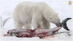 It is interesting to compare Polar bear vs grizzly bear fight. There is lot of comparison and difference between both Grizzly and Polar bear. Read further to know which bear will win. Polar Bear Food, Polar Bear Hunting, Polar Bear Facts, Polar Bears, Animals Amazing, Large Animals, Black Bear, Brown Bear, Polar Bear Climate Change