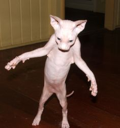 I always found hairless cats to be pretty cool. This...this, however, is slightly terrifying. hahaha!