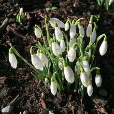 I said to a client today, it's a struggle hatching out of a seed and pushing up through cold, frosty earth. But if the snowdrops can do it, so can you. And here are some snowdrops, taken in Fitzwilliam Square, just across the road from me. Happy Springtime xx  #snowdrops #springtime