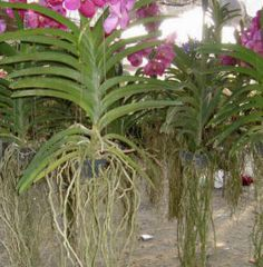 Vanda Orchids | Vanda Orchids - How to grow and care for Vandas.