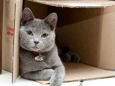 Was wäre das Katzenleben ohne Kartons? Britisch Kurzhaar beim Spielen — Bild: Shutterstock / Werner Gillmer    www.einfachtierisch.de