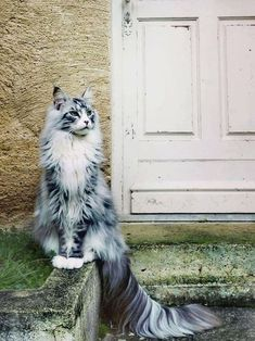 100 Photos Proving That Cats Are The Cutest Animal On Earth A Maine Coon is a large breed of cat, not just referring to its voluptuous fur but its body mass, too. The Maine Coon lifespan is hardly any. Cutest Animals On Earth, Animals And Pets, Funny Animals, Cute Animals, Animal Memes, Mercy For Animals, Pretty Animals, Pretty Cats, Beautiful Cats
