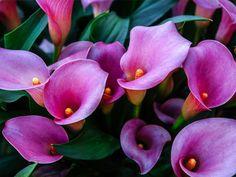 Lys Calla, Calla Lillies, Calla Lily, Backyard Garden Design, Small Garden Design, Lily Meaning, Beautiful Gardens, Beautiful Flowers, Lily Care