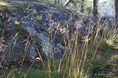 metsälauha metsän kasvit