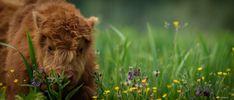 Scottish Highlander ... by patrickkruizinga1 #ErnstStrasser #Niederlande #Netherlands Brown Bear, Netherlands, Animals, The Nederlands, The Netherlands, Animales, Animaux, Holland, Animal