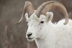 Dall sheep at Denali National Park, Alaska