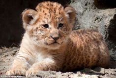Adorable: Three rare liger cubs took their first steps in the outside world after being born at a Russian zoo last month