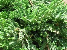 Pinheiro Rasteiro ou Tuia-Jacaré (Juniperus horizontalis): Descrição, Cultivo, Paisagismo, Uso Ornamental