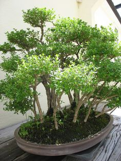 in the Bonsai Garden Succulent Bonsai, Bonsai Plants, Bonsai Garden, Garden Pots, Bonsai Trees, Succulent Wall, Succulents Garden, Cactus Plants, Indoor Bonsai