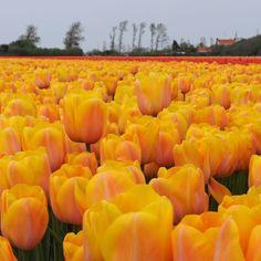 'Ardeche' so weit man schaut... die Tulpe blüht in Gelb und Apricot. Pflanzzeit ist im Herbst. Online bestellbar bei www.fluwel.de