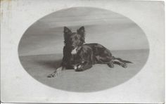 Belgian sheepdog GROENENDAEL dog lying old RPPC photo postcard