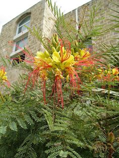 Plants of Jerusalem Israel | 27 this showstopper is caesalpinia gillesii believe it or not it s a ...