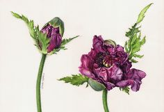 My latest watercolour botanical portrait of 'Oriental Poppies'.