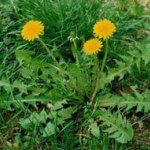 Post with 1 votes and 10 views. Tagged with anorexia, dandelion, gout, disorders, eczema; Shared by dandelion herb Dandelion Health Benefits, Dandelion Root Tea, Spring Salad, Spices And Herbs, Belleza Natural, Medicinal Plants, Herbal Medicine, Health And Nutrition, Yellow Flowers