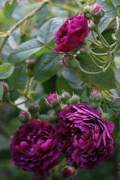 Gallica Rose: Rosa 'Ombrée Parfaite' (France, 1823)