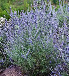 Russian Sage 'PEEK-A-BLUE':  Usually, Perovskia is tall and gangly with a tendency to flop over. Here is a more compact Russian Sage that grows to 28 inches tall and wide. Another deer-proof plant that blooms from midsummer into early fall.