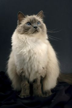 With silky fur and a sizable body, the Ragdoll is a favorite breed among cat fanciers. #rarecatsbreeds