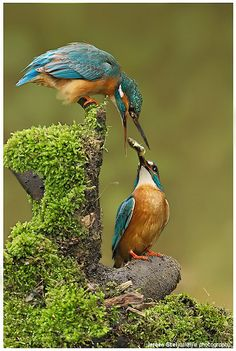 Kingfishers. by Jeoren Stel | Flickr - Fotosharing!