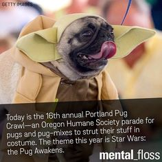 In Portland there is an annual Pug Parade sponsored by the Oregon Humane Society.  This year's theme was Star Wars:  the Pug Awakens.  #KeepPortlandWeird