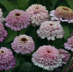~Zinnia 'Zinderella Lilac.' The first lilac scabiosa-flowered zinnia.