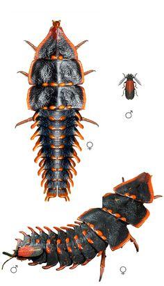 Platerodrilus sp. female and male comparison