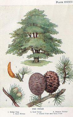 vintage botanical illustration: