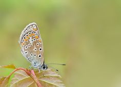 Common Blue Lady... by Lucy Filippini on 500px
