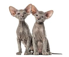 Photo about Two Peterbald kittens, cats, isolated on white. Image of kittens, relationship, isolated - 105769683 Sphynx, Cat Breeds, Cats And Kittens, Garden Sculpture, Outdoor Decor, White Image, Google Search, Animals, Cat