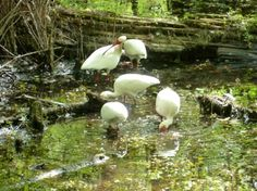 Group of adult ibis foraging in a swamp