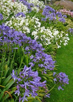 Plant Agapanthus And Agapanthus Care Agapanthus- great plant for small gardens especially for dry areas.Agapanthus- great plant for small gardens especially for dry areas. Garden Shrubs, Garden Plants, Garden Landscaping, Potager Garden, White Agapanthus, Agapanthus In Pots, Beautiful Gardens, Beautiful Flowers, Small Gardens