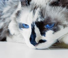 Il n'est pas toujours évidentde comprendre les chats, surtout lorsqu'ils s'agit d'identifier s'ils ressentent une douleur.Pour vous aider à déterminer si votre chat souffre physiquement, une équipe devétérinairess'estré...