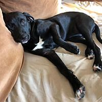 Available Pets At For Dogs Sake In Manchester New Hampshire Labrador Retriever Dog Ages Catahoula Leopard Dog