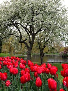 Boston common flowers by markbowenfineart Boston Common, Landscape, Spring, Flowers, Flower, Corner Landscaping, Blossoms