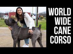 AMAZING CANE CORSO BREEDER! Visiting Worldwide Cane Corso. - YouTube Cane Corso Breeders, Cane Corso Dog, Colorful Fish, Tropical Fish, Freshwater Aquarium, Aquarium Fish, Cane Corso Colors, Animal Reiki, Dog Training Courses