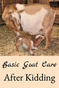 Describes how to care for the goat doe and kids after freshening (kidding) care management health education health education activities health education for kids health education fun health education lesson plans health education tips Nubian Goat, Goat Barn, Boer Goats, Nigerian Dwarf Goats, Raising Goats, Pet Health, Health Care, Oral Health, Goat Farming