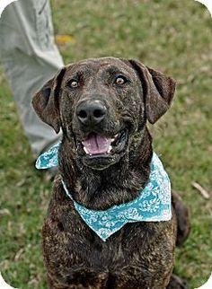 Portsmouth, RI - Labrador Retriever/Catahoula Leopard Dog Mix. Meet Valiant w/video! a Dog for Adoption.