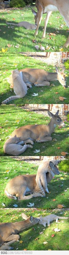 This deer has visited this cat nearly every morning since it was a kitten.  (deer, cat)