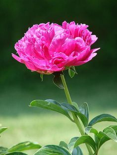 Pink Peonie. (the first flower he ever picked for me)