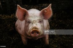 Stock Photo : Close-Up Portrait Of Messy Pig