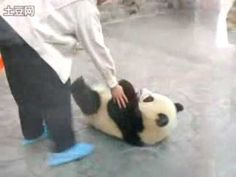 Watch these two adorable baby pandas trying to escape. One panda distracts the keeper's attention while the other opens the door and tries to escape.